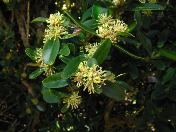 Buxus sempervirens 1