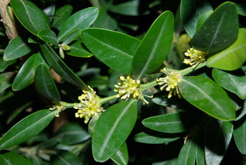 Buxus sempervirens 2