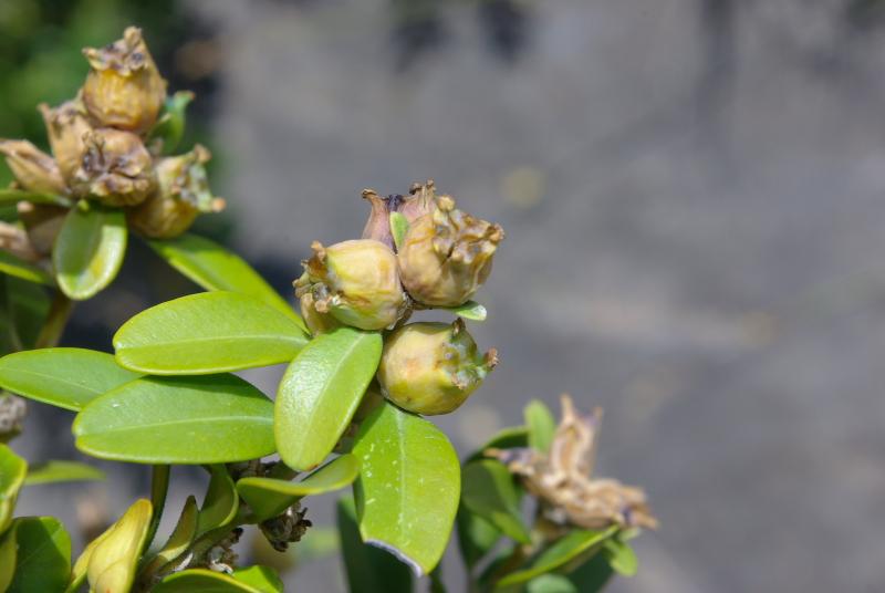 Buxus sempervirens 3