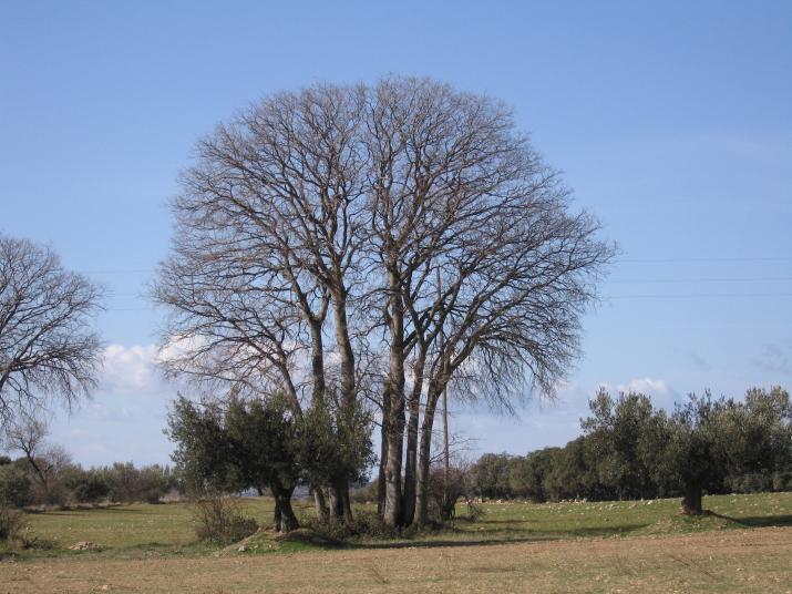 Celtis australis  1