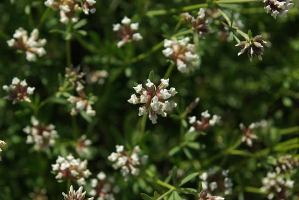 Dorycnium pentaphyllum fl