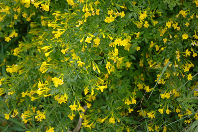 Jasminum fruticans fl 1