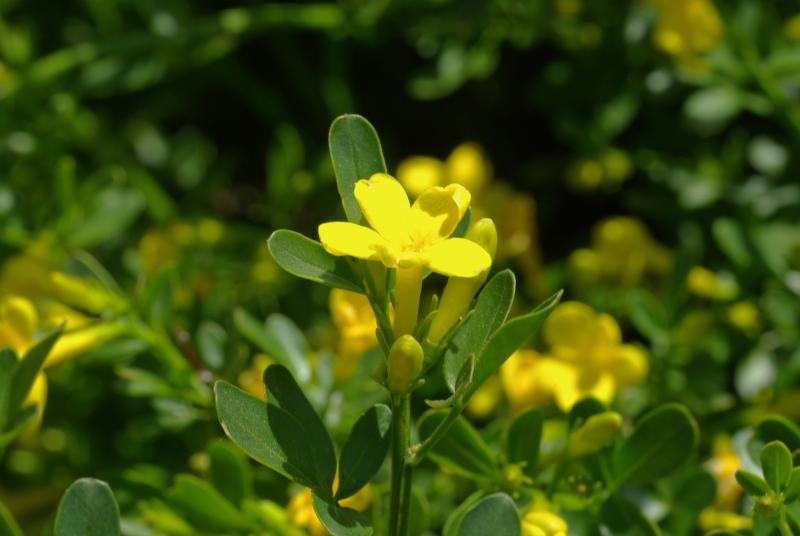 Jasminum fruticans fl 2
