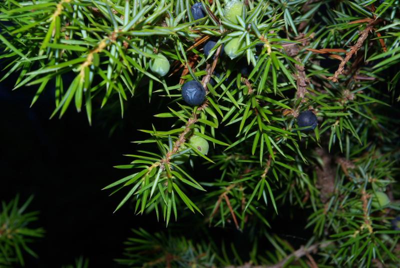 Juniperus comunis fr