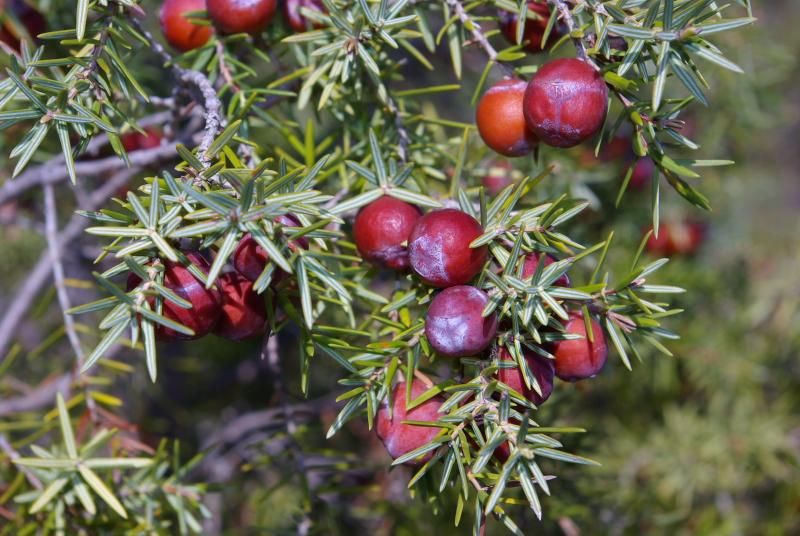 Juniperus oxicedrus fr