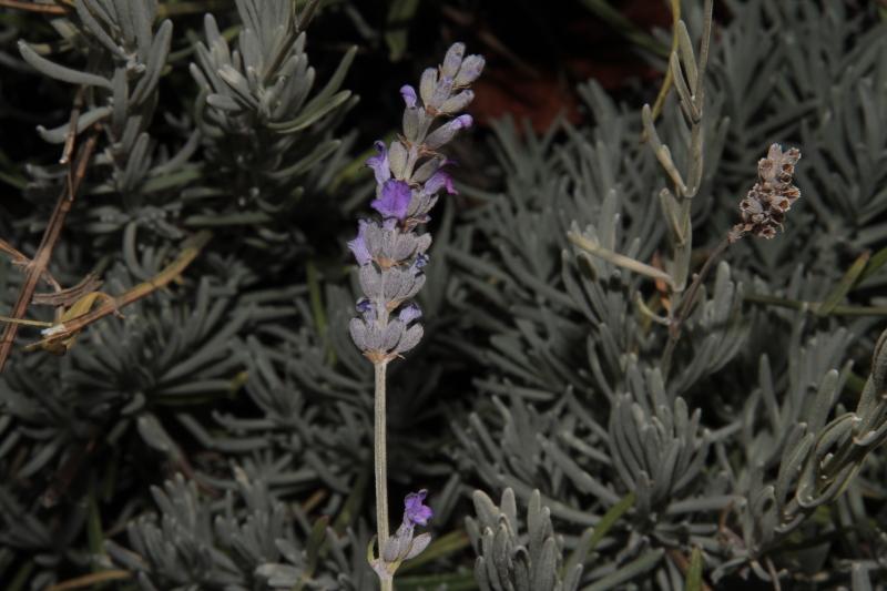 Lavandula latifolia fl
