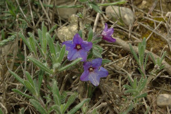 Lithodora fruticosa fl2