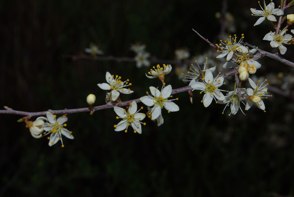 Prunus spinosa fl