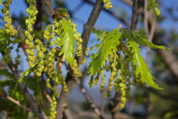 Quercus cerrioides fl
