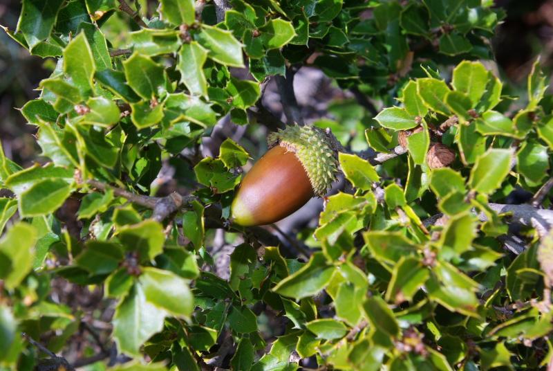 Quercus coccifera fr IMGP7140   M Ortega  r