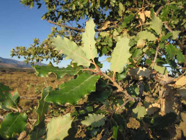 Quercus gr. cerrioides