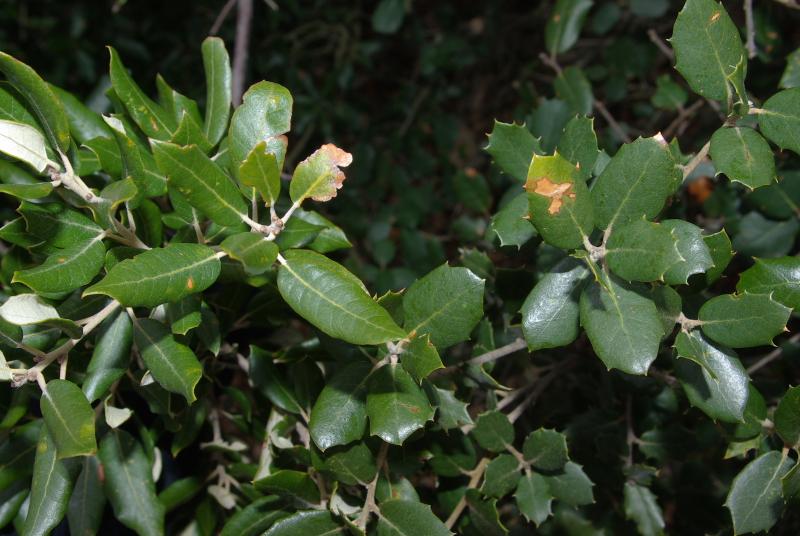 Quercus ilex IMGP6674   M Ortega  r