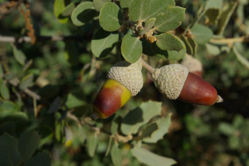 Quercus ilex ssp. ballota IMGP3426   M Ortega  r