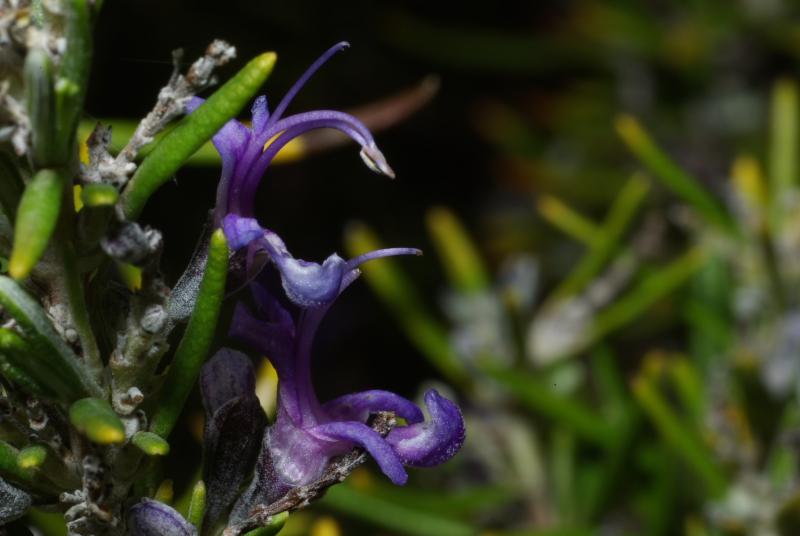 Rosmarinus officinalis fl