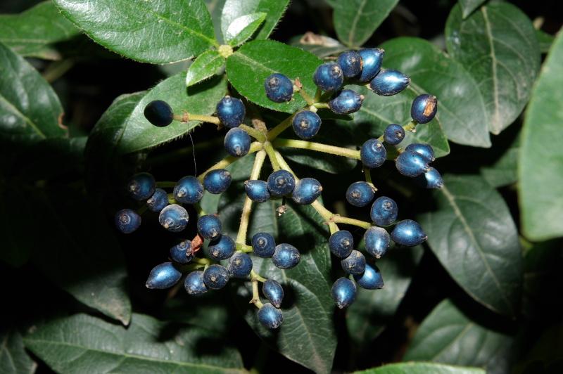Viburnum tinus fr IMGP4127   M Ortega  r