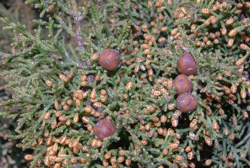 juniperus_phoenicea_1