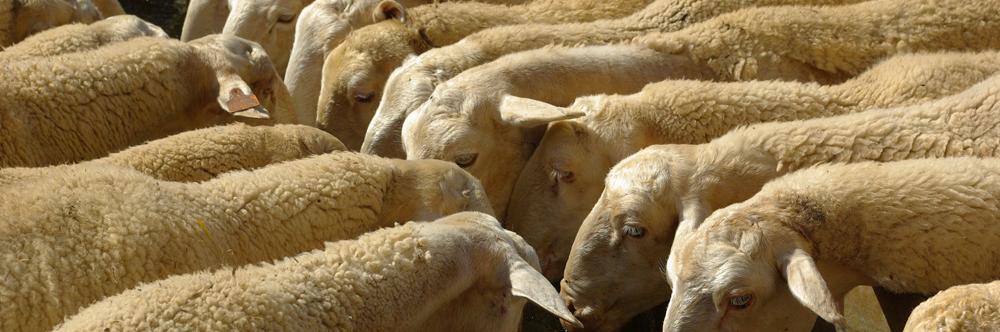 ovejas abrvando